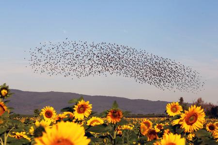 Photo pour Natural spectacle flight of starlings - image libre de droit