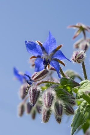 Borage flower macro