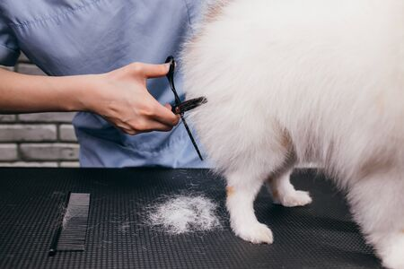Photo for adorable little dog pet in grooming salon, sweet spitz calmly go through hair cutting procedure by professional groomer. professional care of dogs hair - Royalty Free Image