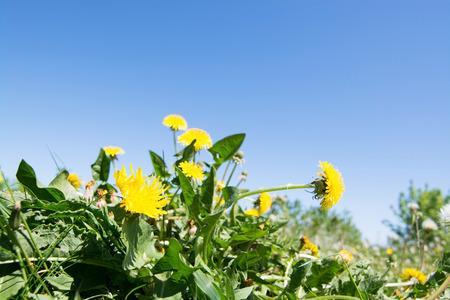 common dandelion, called in latinTaraxacum sect. Ruderalia.