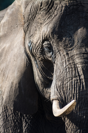 Elephantidae is a family of large, herbivorous mammals collectively called elephants and mammoths.