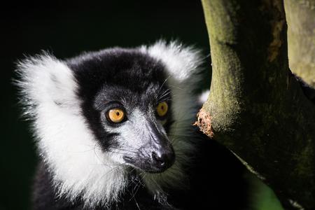 The ruffed lemurs of the genus Varecia are strepsirrhine primates and the largest extant lemurs within the family Lemuridae.