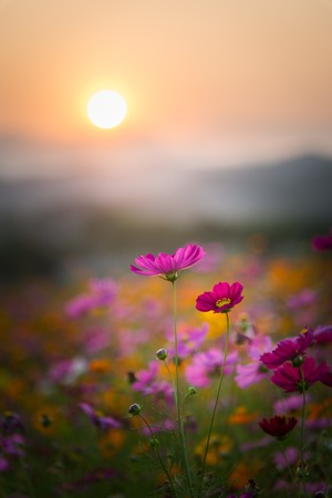 Photo for View of beautiful cosmos flowers in sunset time. - Royalty Free Image