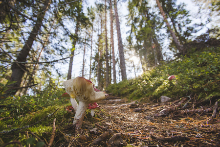 Russula mushrooms has grown near the forest path