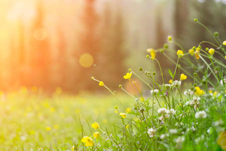 Photo pour Spring background. Sunny meadow blurred background with wildflowers, grasses and green fresh grass. Spring, nature, summer and sun concept - image libre de droit