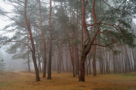 Autumn forest in the morning mist.