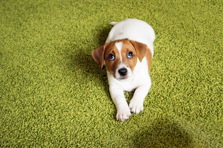 Photo pour Puppy Jack russell terrier lying on a carpet and  looking up guilty. - image libre de droit