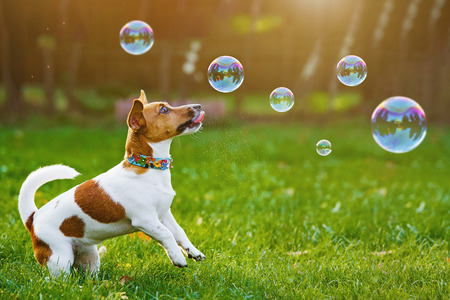 Photo pour Puppy jack russell playing with soap bubbles in summer outdoor. - image libre de droit