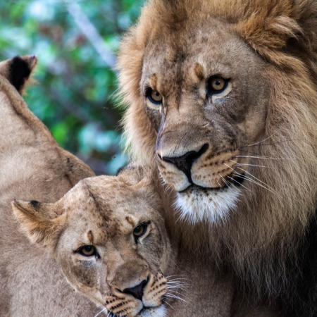 Male and female African lion pair next to each other