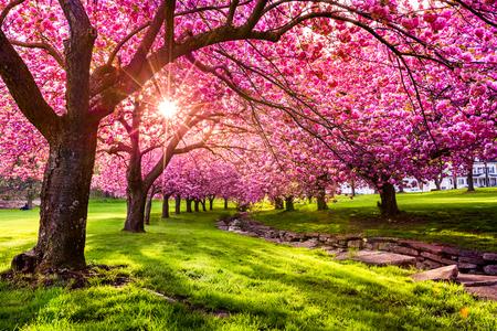 Photo pour Cherry tree blossom explosion in Hurd Park, Dover, New Jersey - image libre de droit