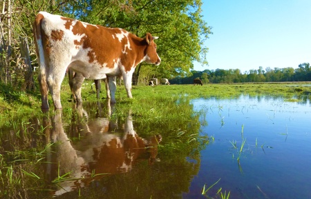 flooded meadow with cows lost at fantastic weather - ãœberschwemmte area with kitchen hen lost in the fantastic weather