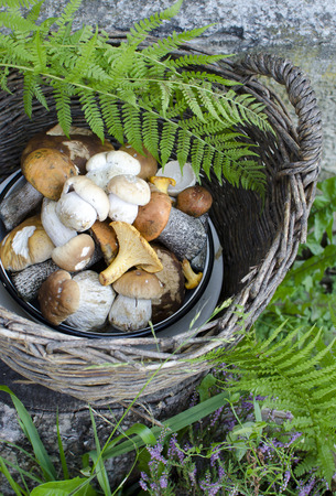Wicker basket with white wild mushrooms in the grassの写真素材