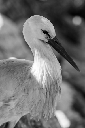 stork -  black and white animals portraits