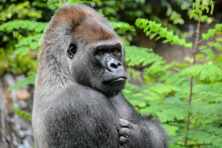 Picture of a Strong Adult Black Gorilla
