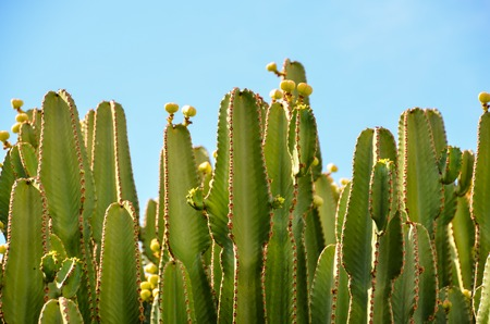Cactus in the Desert at Sunset Tenerife South Canary Islands Spain