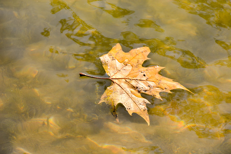 Photo Picture of a Single Maple Leaf Floating,の写真素材