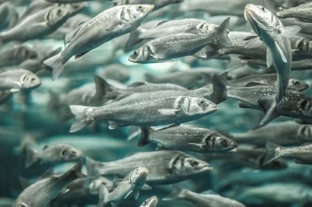Photo pour Underwater School of Silver Gray Fish in Aquarium - image libre de droit