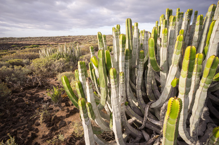 Calm Cactus Desert Sunset in Tenerife Canary Island