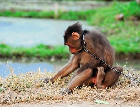 Foto de Young Brown Monkey in Chains in Vietnam - Imagen libre de derechos