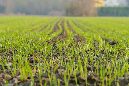 Foto de green field of corn, beautiful photo digital picture - Imagen libre de derechos