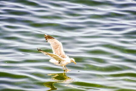 Photo for duck in water, photo as a background, digital image - Royalty Free Image