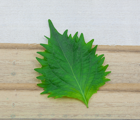 fresh green shiso leaf on white background