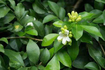 Photo pour Close up of Orange Jasmine (Murraya paniculata) in full bloom - image libre de droit
