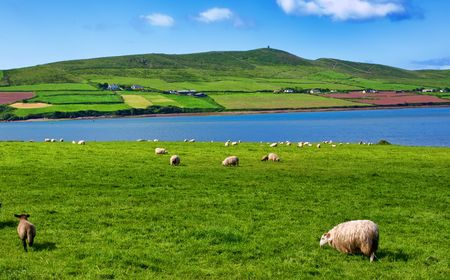 photo sheep in rural landscape for farming