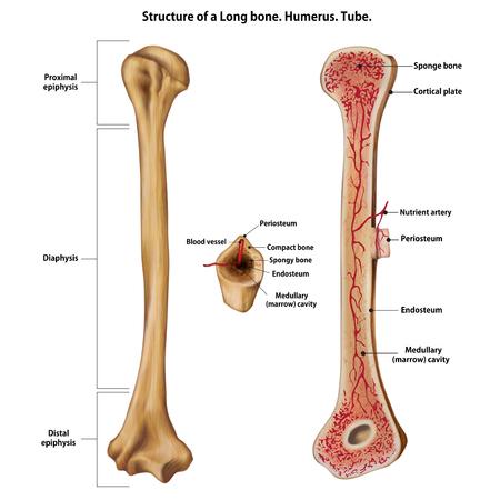 Illustration pour Layer of a Long bone. Humerus. Tube. - image libre de droit