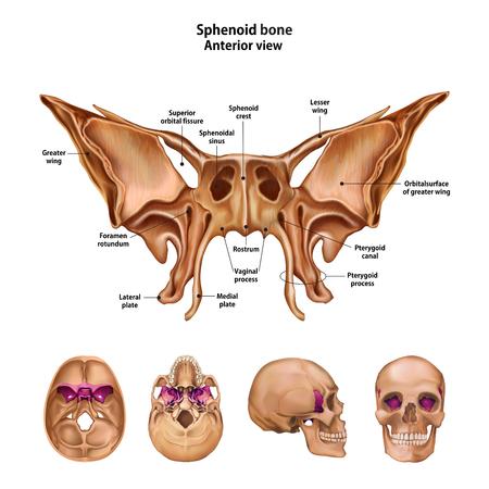 Illustration pour Sphenoid bone.  With the name and description of all sites. - image libre de droit