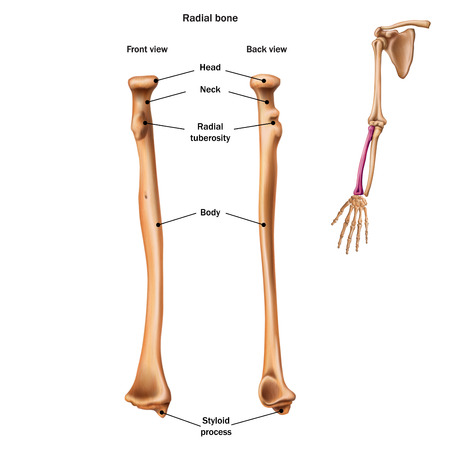 Illustration pour The structure of the radial bone with the name and description of all sites. Back and front view. Human anatomy. - image libre de droit