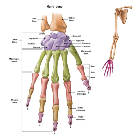 Illustration pour Bones of the human hand with the name and description of all sites. Human anatomy. Vector illustration isolated on a white background. - image libre de droit