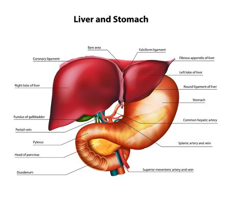 Anatomy of the liver and stomach. Vector realistic illustration.