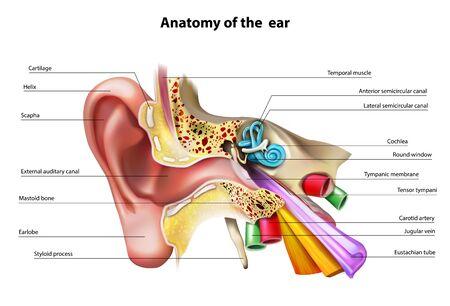 Illustration pour Anatomy of the ear. Vector illustration. - image libre de droit