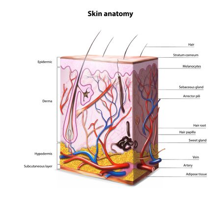 Illustration pour Anatomy of human skin. Vector illustration. - image libre de droit