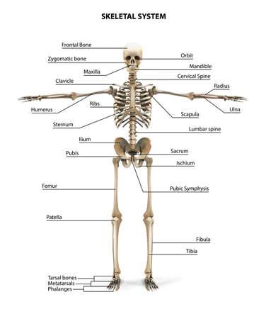 Illustration pour Human Skeleton Anatomy. Vector illustration. - image libre de droit