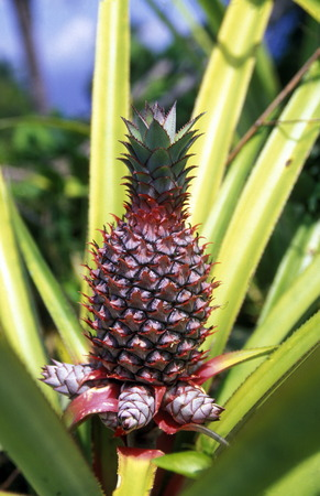 pineaple plantation on the Island of Anjouan on the Comoros Ilands in the Indian Ocean in Africa.
