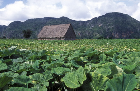 the landscape near the village of Vinales on Cuba in the caribbean sea.