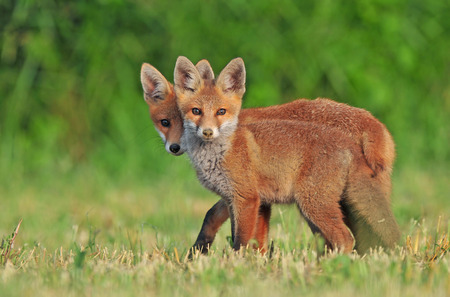 Two wild red foxes in a field
