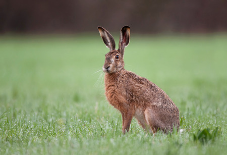 Foto de Wild brown hare with big ears sitting in a grass - Imagen libre de derechos