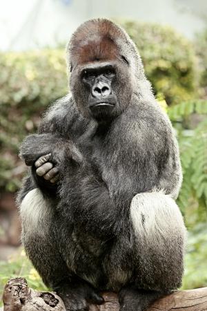 Sitting silver back gorilla in Loro Park, Tenerife