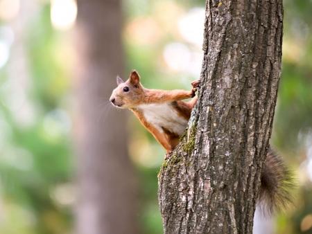 Foto de Red squirrel sitting on the tree - Imagen libre de derechos