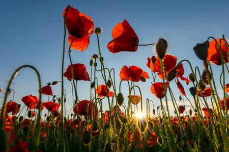 Photo pour Close up in poppy field and sun. Remembrance day - image libre de droit