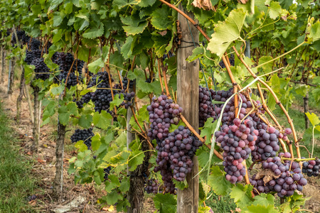 The bunches hanging on grape bushes in vineyards.