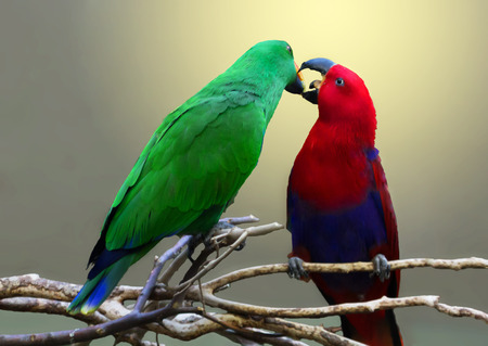Beaking noble parrots on a branch.