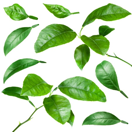 Citrus leaves isolated on white background. Collection