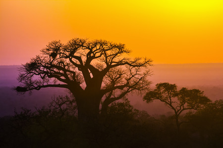 Baobab tree in  South Africa; Specie Adansonia digitata family of Malvaceae