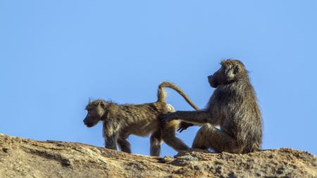 Chacma baboon, South Africa; Specie Papio ursinus family of Cercopithecidae