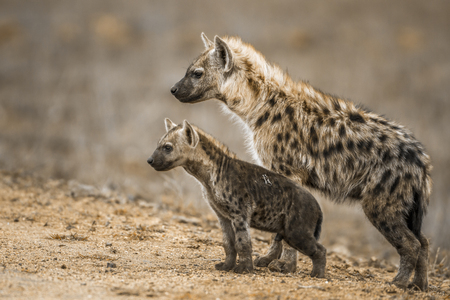 Spotted hyena in Kruger National Park, South Africa; Specie Crocuta crocuta family of Hyaenidae