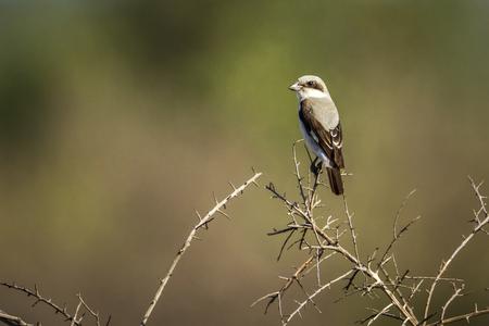 Lesser Gray Shrike in Kruger National Park, South Africa; Specie Lanius minor family of Laniidae